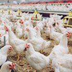 4 Cara Budidaya Ayam Broiler Organik Agar Berhasil