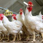5 Cara Ternak Ayam Tanpa Bau dan Kotor