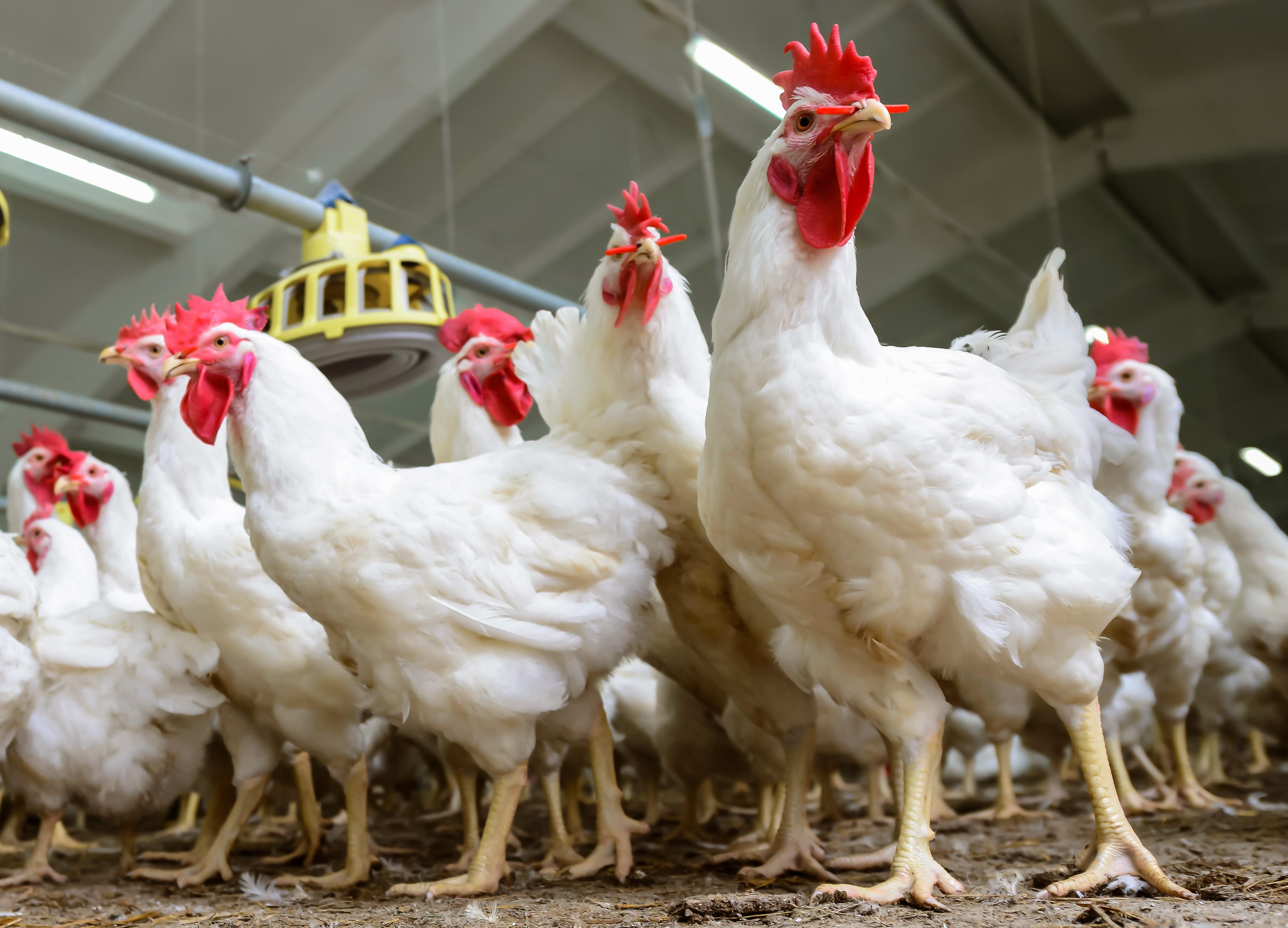 cara ternak ayam potong - Sharing Artikel Di Socialiablog.com